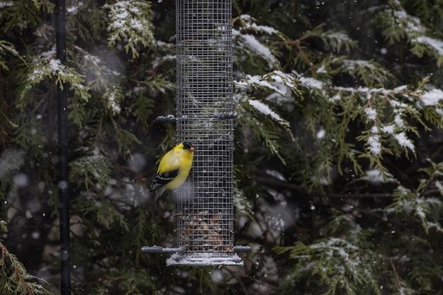 Lindo canário sentado em um recipiente de sementes perto das árvores cobertas de neve