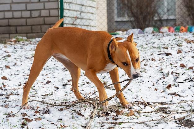 Lindo cão americano staffordshire terrier na natureza. staffordshire terrier americano