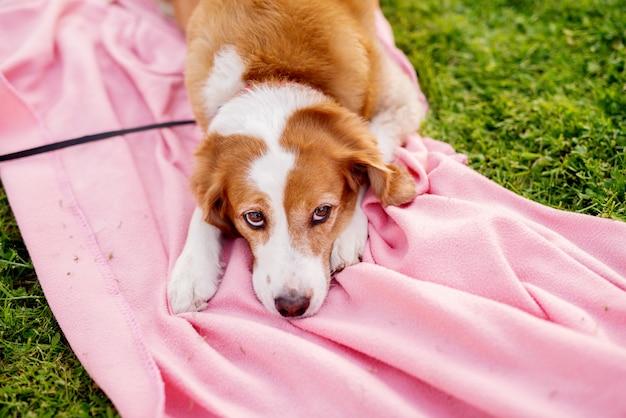 Lindo cão branco e marrom está deitado sobre um cobertor que está espalhado sobre a grama.