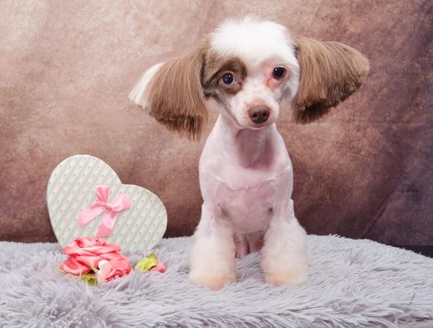 Lindo cão de crista chinês. depois do corte de cabelo do aparador.