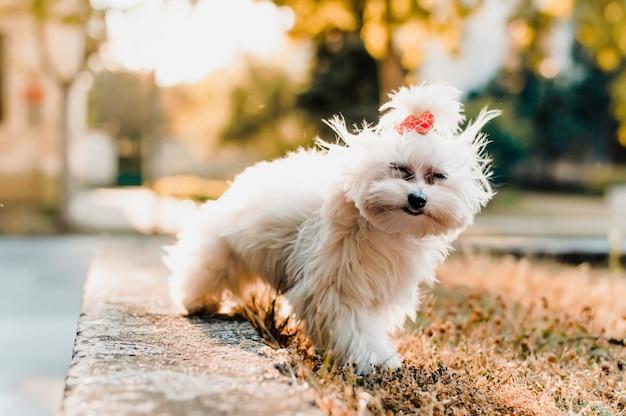 Lindo cão maltês sentado na grama