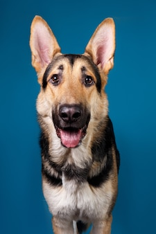 Lindo cão pastor alemão sobre fundo azul. tiro do estúdio. de cor cinza e marrom.