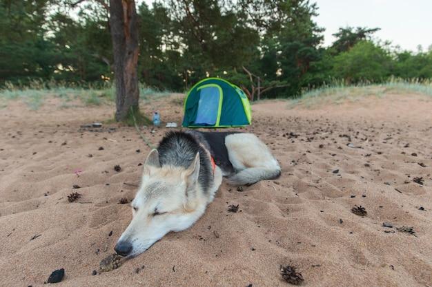Lindo cão pastor deitado perto de uma barraca sob uma árvore em uma praia ao entardecer Foto Premium