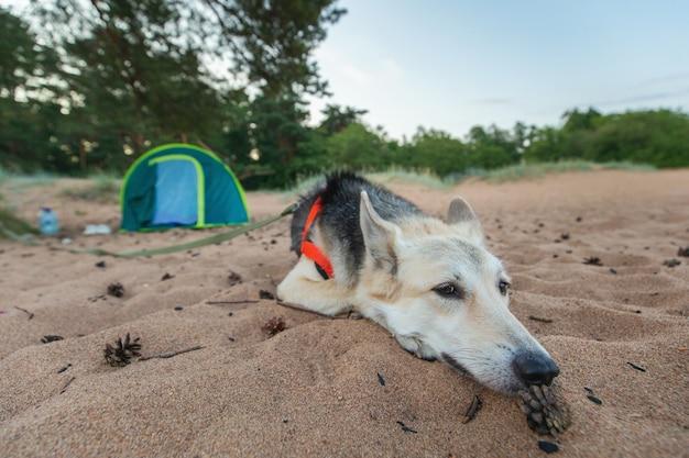 Lindo cão pastor deitado perto de uma barraca sob uma árvore em uma praia ao entardecer