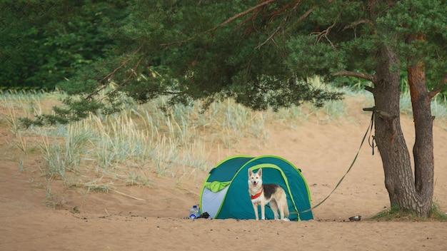 Lindo cão pastor em pé, olhando para a câmera e sorrindo perto de uma barraca debaixo de uma árvore em uma praia arenosa