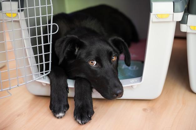 Lindo cão pastor preto com olhos bonitos, deitado em sua caixa, enfiando as patas dianteiras e a cabeça para fora.