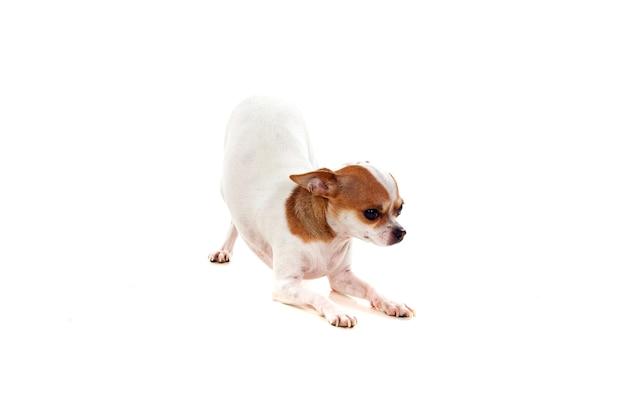 Lindo cão pequeno