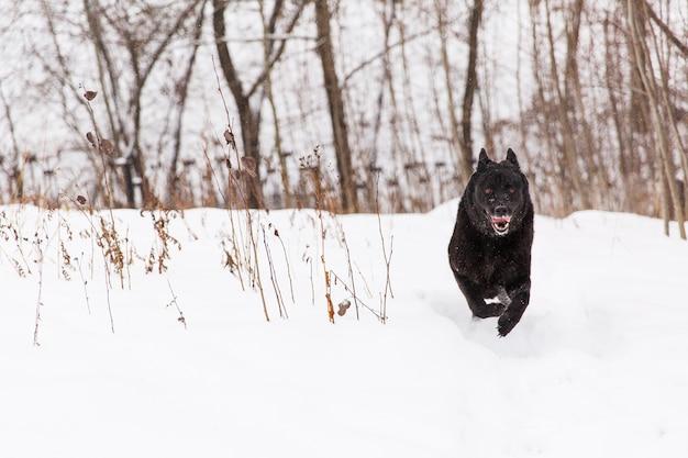 Lindo cão preto correndo no campo nevado na floresta de inverno