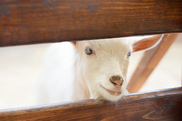 Lindo casal garoto branco cabras. dois, pequeno, branca, cabras, ficar, em, madeira, abrigo
