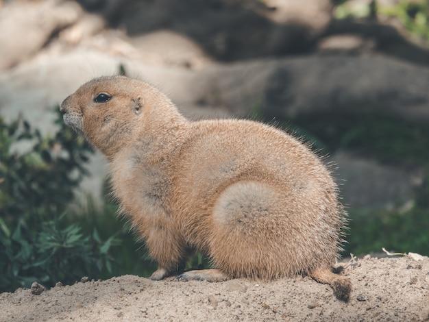 Lindo castor sentado no chão da floresta