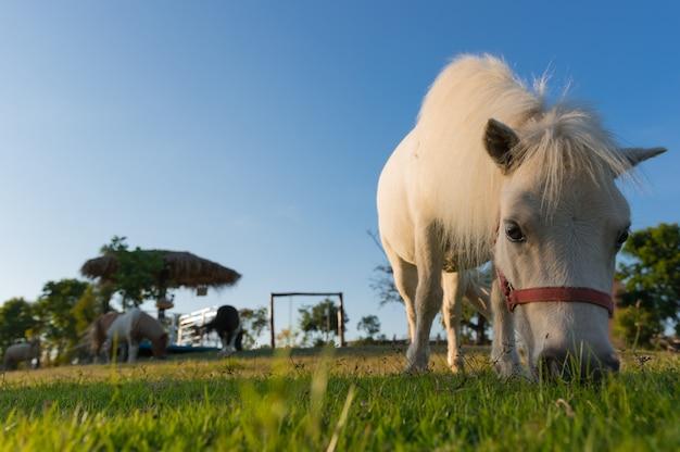 Lindo cavalo anão.