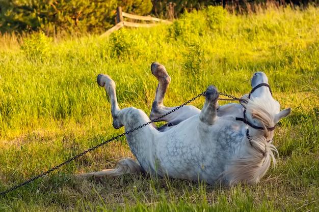 Lindo cavalo branco deitado na grama verde