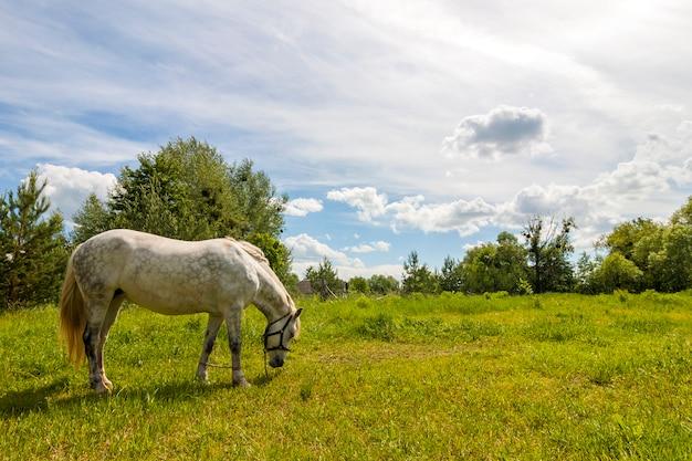 Lindo cavalo branco no pasto com grama verde
