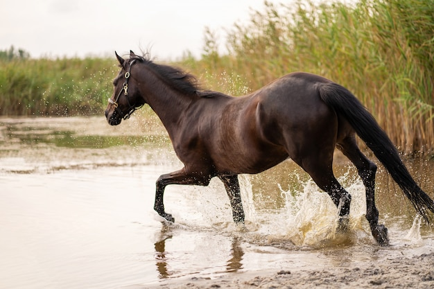Lindo cavalo escuro bem preparado para uma caminhada à beira do lago. um cavalo corre sobre a água. força e beleza