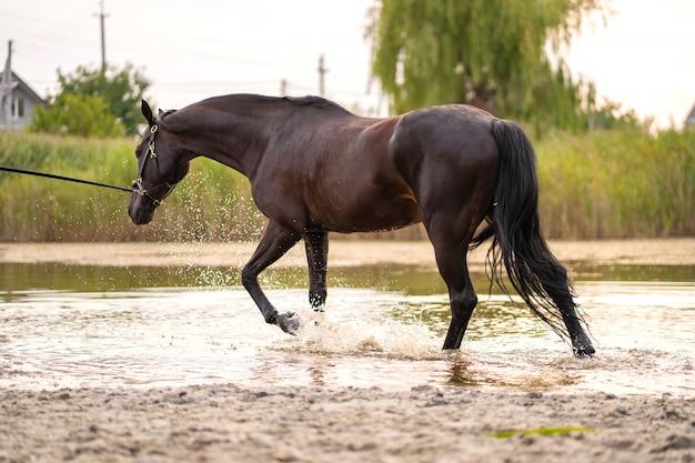 Lindo cavalo escuro bem preparado para uma caminhada à beira do lago, um cavalo corre sobre a água, força e beleza