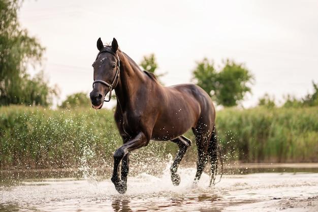 Lindo cavalo escuro bem preparado para uma caminhada à beira do lago.