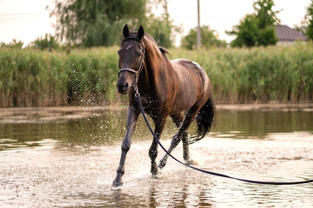 Lindo cavalo escuro bem preparado para uma caminhada à beira do lago