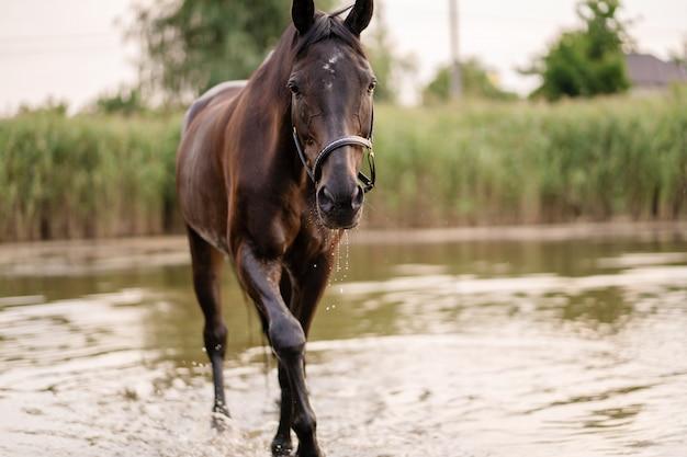 Lindo cavalo escuro bem preparado para uma caminhada à beira do lago,
