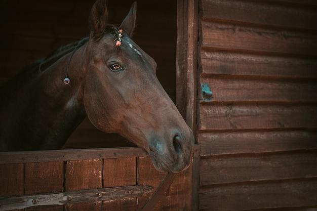 Lindo cavalo espreitando pelas portas do estábulo com crina trançada de contas. cavalo de fazenda marrom lindo
