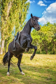 Lindo cavalo negro fica em suas patas na natureza