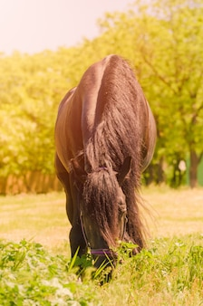 Lindo cavalo preto ao ar livre. o conceito de andar.