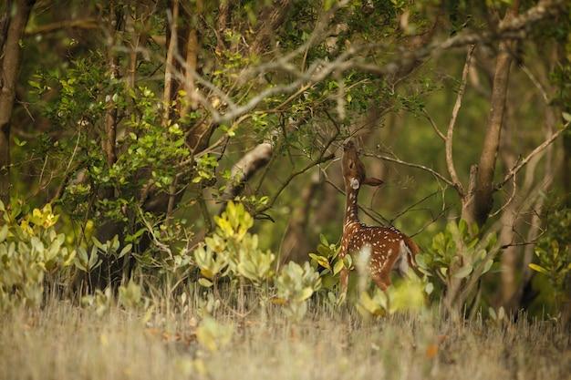 Lindo cervo-eixo da reserva de tigres de sundarbans, na índia