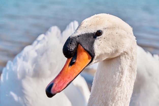Lindo cisne branco em uma lagoa