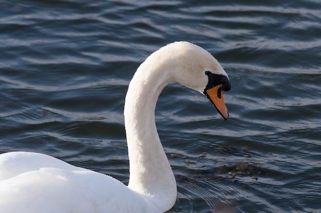 Lindo cisne branco nadando no lago