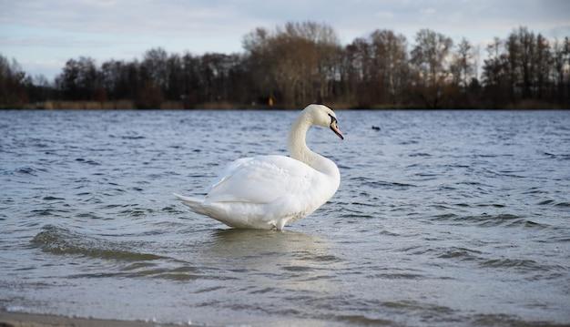 Lindo cisne branco parado na margem do lago no outono