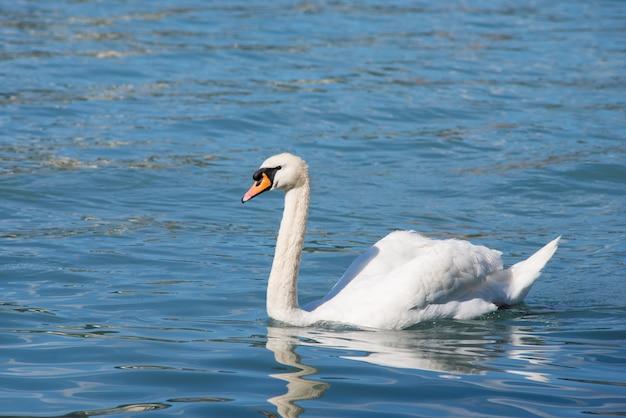 Lindo cisne solitário flutuando no lago limpo com água azul à noite