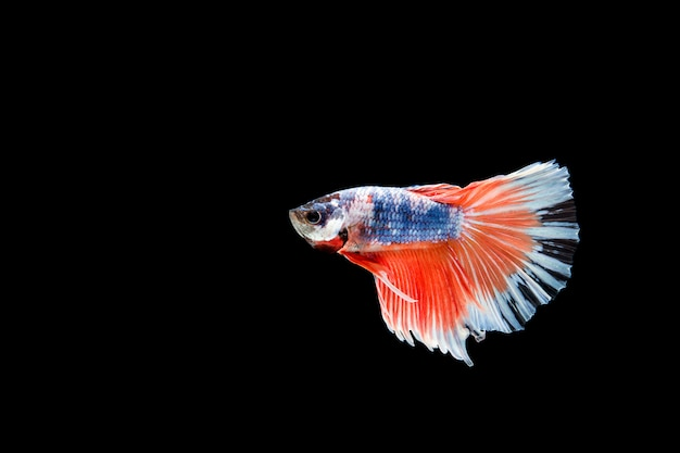 Lindo colorido de peixe betta siamês