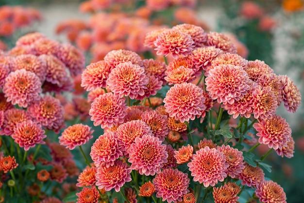 Lindo crisântemo laranja com folhas verdes. arbusto de crisântemos coloridos. plantas de jardim.