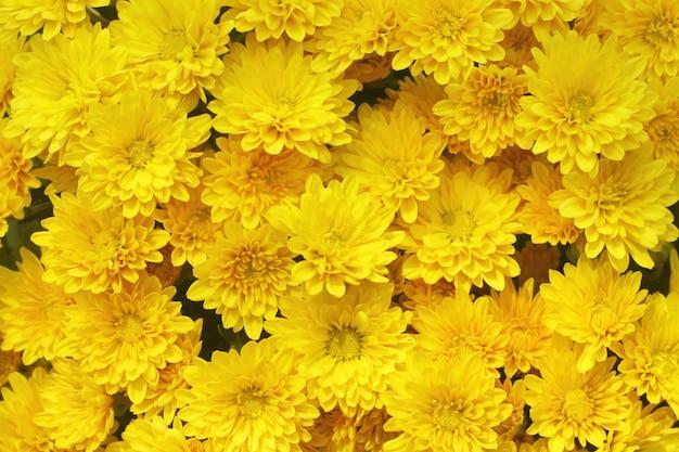 Lindo dente de leão, flores amarelas está florescendo no jardim.
