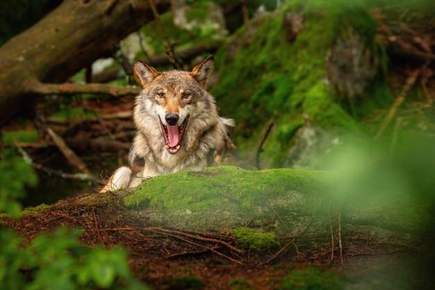 Lindo e esquivo lobo eurasiático no colorido verão