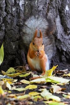 Lindo esquilo ruivo senta-se e come nozes no outono amarelo na floresta.