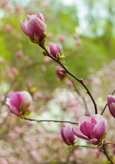 Lindo galho de magnólia rosa florescendo na primavera