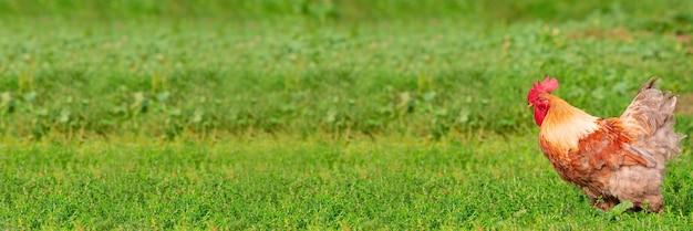 Lindo galo vermelho na grama