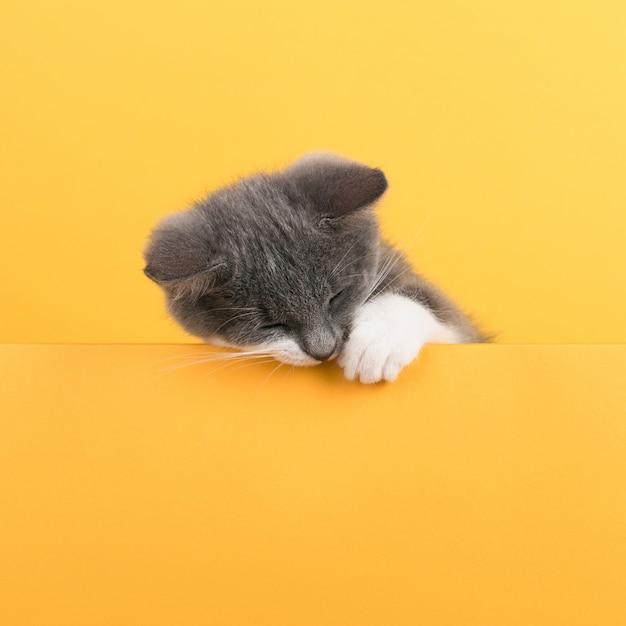 Lindo gatinho cinzento, amarelo, olha e brinca. buisiness, copyspace.