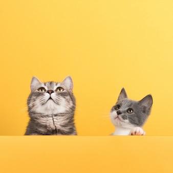 Lindo gatinho cinzento e gatinho, em um amarelo, olha e brinca. buisiness, copyspace.