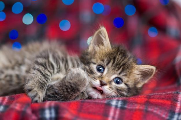 Lindo gatinho cinzento fofo com listras escuras, dormindo em uma manta vermelha de luzes de natal multicoloridas