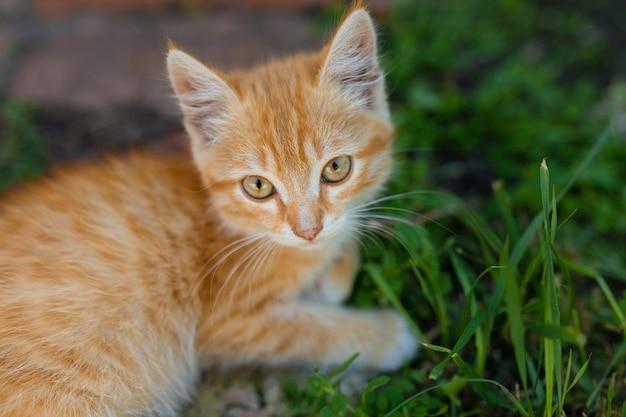 Lindo gatinho gengibre na grama verde. gatinho fofo no parque