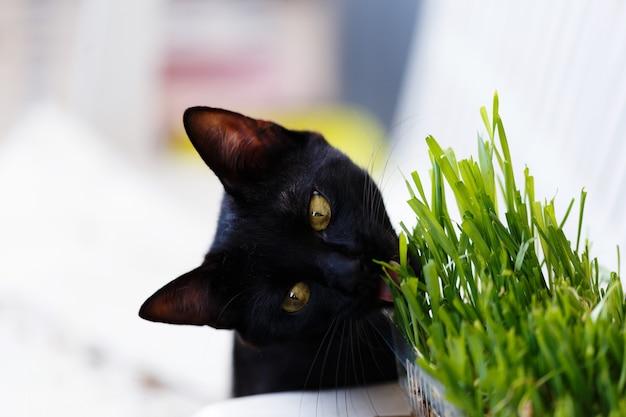 Lindo gatinho preto comendo grama especial para gatos.