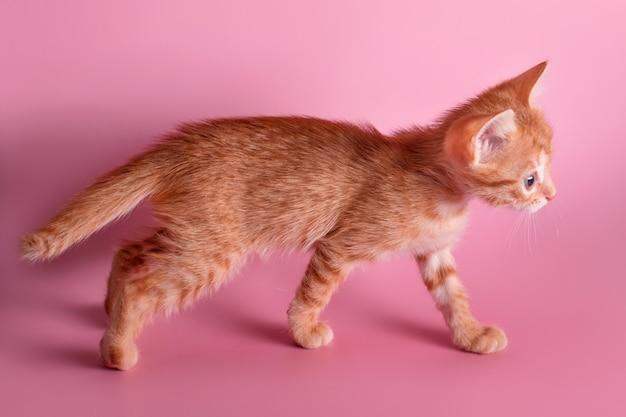 Lindo gatinho ruivo andando na superfície rosa. pequeno gato vermelho curioso descobrindo o mundo.