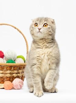 Lindo gatinho tabby scottish fold brincando com bolas de lã vermelhas
