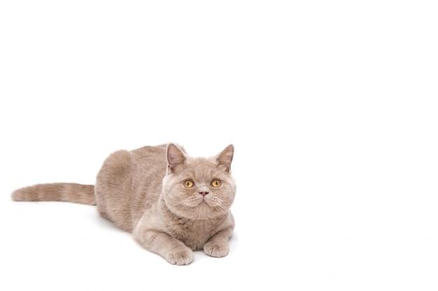 Lindo gato azul em um fundo branco