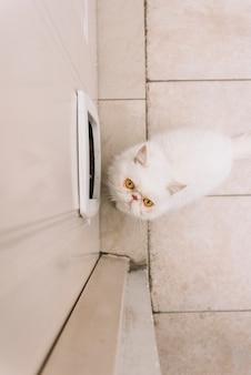 Lindo gato branco em casa