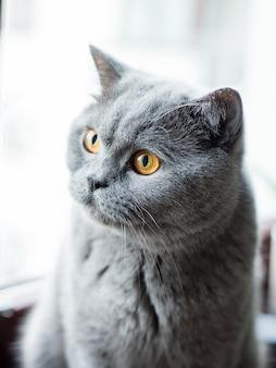 Lindo gato cinzento britânico, retrato de close-up, grandes olhos amarelos