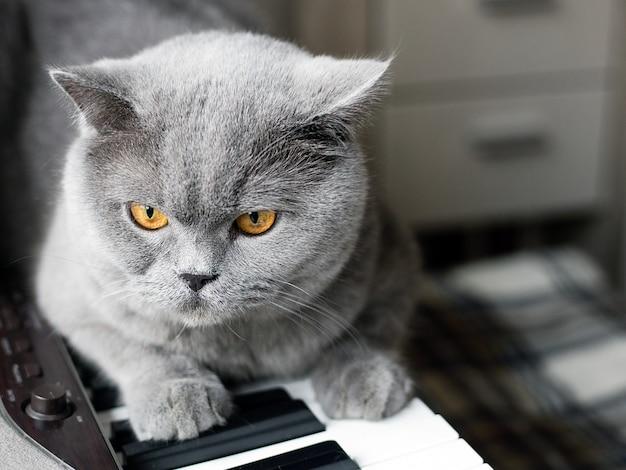 Lindo gato cinzento britânico senta-se nas teclas de um piano, retrato de close-up, grandes olhos amarelos