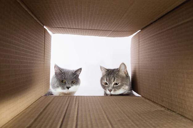 Lindo gato cinzento, espia dentro da carobka de papelão, um animal de estimação curioso verifica lugares interessantes. copie o espaço.