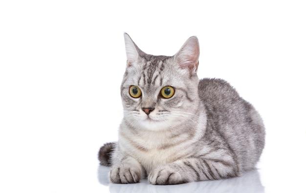 Lindo gato cinzento isolado em um branco